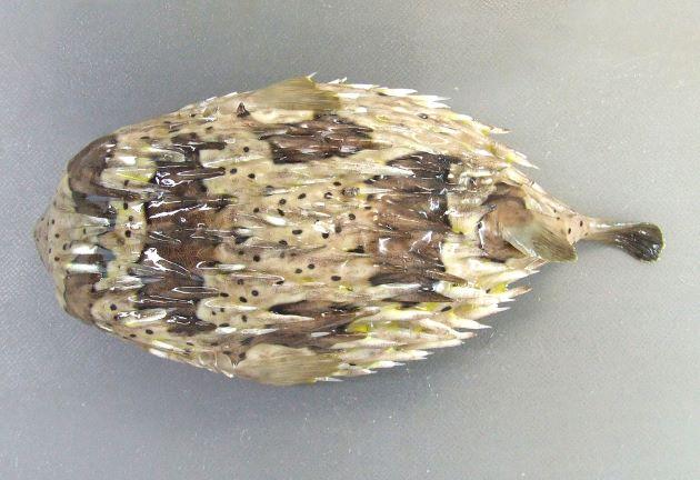 SL(体長30cm)前後になる。棘は可動式。尾鰭。背鰭、尻鰭に斑紋がない。目と胸鰭の間に目立った楕円形の斑紋がない。