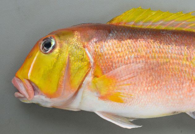 40cm SL 前後になる。側扁(左右に平たい)し、全体に赤く、背の部分が濃い。鰭(ひれ)、頭部が黄色い。背鰭の前の正中線は黒い。目の周辺部分に白い線模様があり、目の後方に三角形の白い部分がない。
