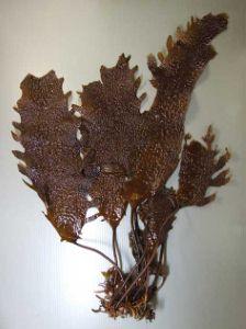 ツルアラメのサムネイル写真
