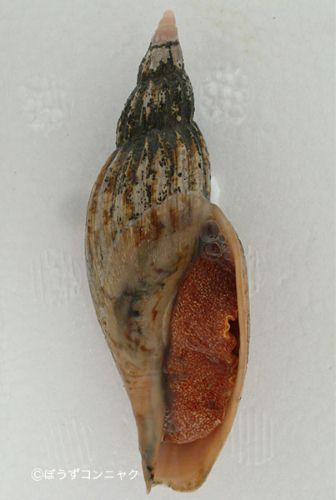 オオヒタチオビの形態写真