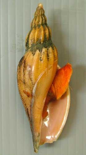 ニクイロヒタチオビの形態写真