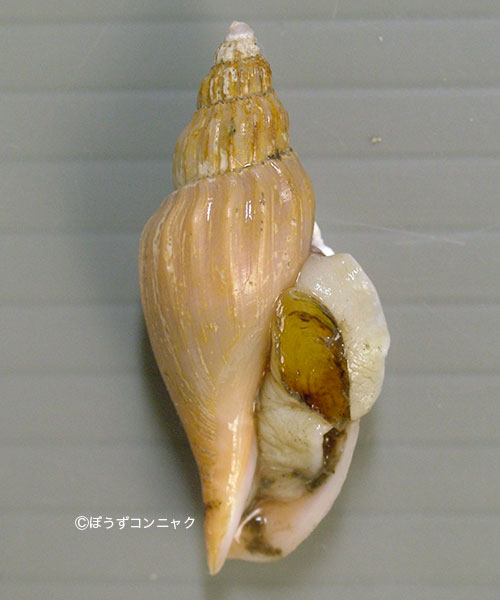 サオトメヒタチオビの形態写真