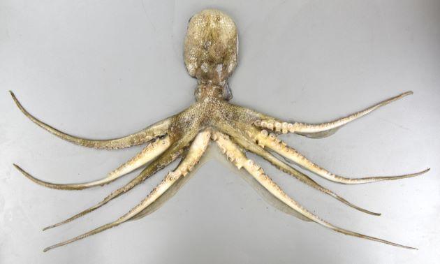 全長30cm前後になる。外套膜は卵状で表面は顆粒が目立ち鮫肌。第2腕と第3腕の腕膜上に暗色の丸い地に金色の輪紋がある。