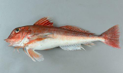 SL 30cm前後になる。紡錘形でやや細長い。体色は一様に赤。吻棘はいくつかの小さい棘からなる。背鰭にも胸鰭にも目立った斑紋はない。