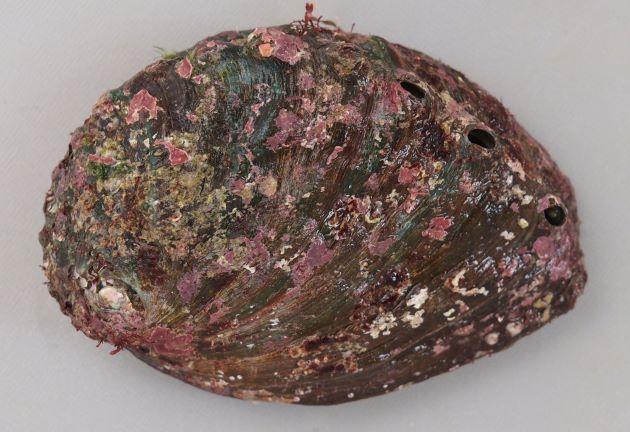エゾアワビの形態写真