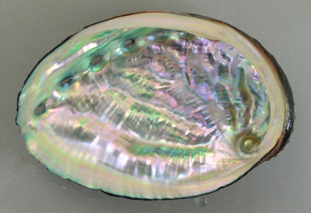 SL 140mm 前後になる。殻は薄く硬く、表面の凹凸が顕著。内唇の幅が狭い。[北海道]