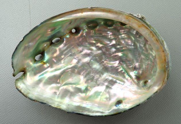 SL 140mm 前後になる。殻は薄く硬く、表面の凹凸が顕著。内唇の幅が狭い。[台湾]