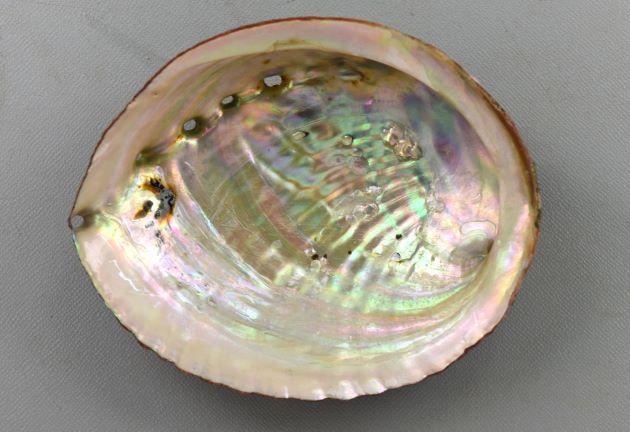 20cm SL 前後になる。殻の背(厚み)は低くやや平たい。螺肋が強く殻頂は低い。