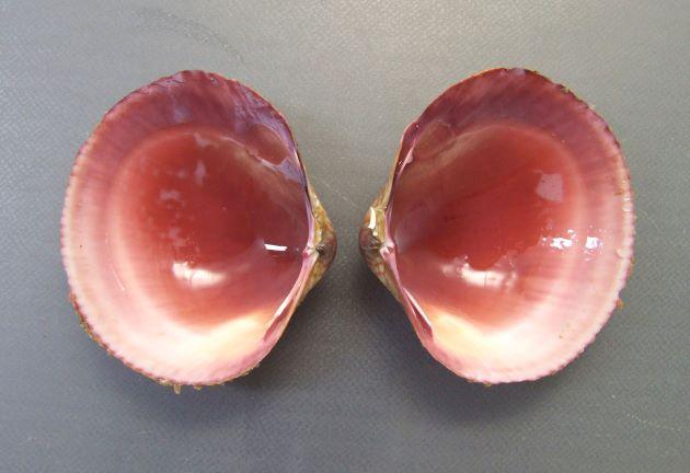殻長10センチ前後になる。貝殻は薄く、よく膨らみ、放射肋が均一にくっきりと並ぶ。