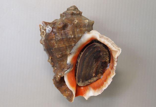 10cm SL を超える。貝殻は非常に硬く厚みがある。螺塔は肩が張り、肩の角上に結節列を生じる。殻口は広く、内面は赤色(ときに白いものもある)。ツノがなく丸みのあるものやツノのあるものもある。