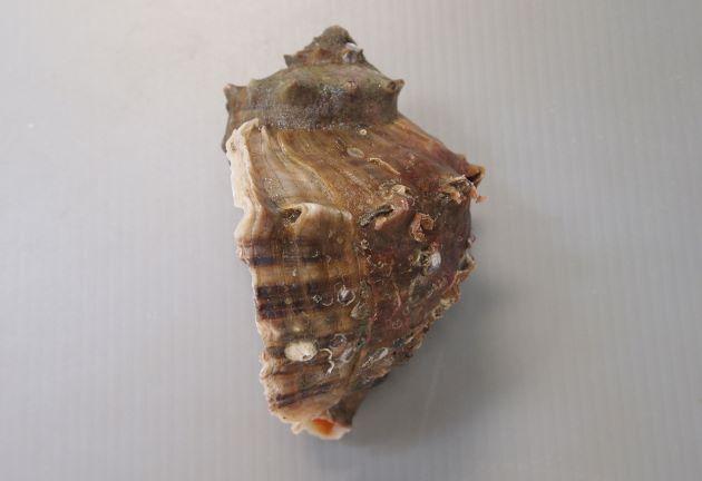 10cm SL を超える。螺塔は肩が張り、肩の角上に結節列を生じる。殻口は広く、内面は赤色(ときに白いものもある)。ツノがなく丸みのあるものやツノのあるものもある。