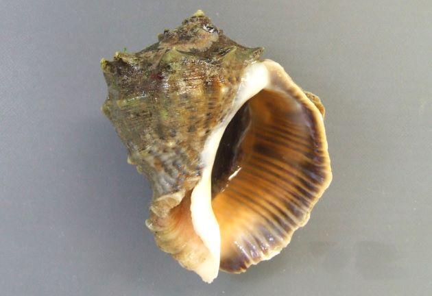 10cm SL を超える。貝殻は非常に硬く厚みがある。螺塔は肩が張り、肩の角上に結節列を生じる。殻口は広く、内面は赤色(ときに白いものもある)。ツノがなく丸みのあるものやツノのあるものもある。[貝殻が白いもの]