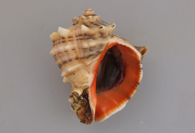 10cm SL を超える。貝殻は非常に硬く厚みがある。螺塔は肩が張り、肩の角上に結節列を生じる。殻口は広く、内面は赤色(ときに白いものもある)。ツノがなく丸みのあるものやツノのあるものもある。[ツノアカニシタイプ]