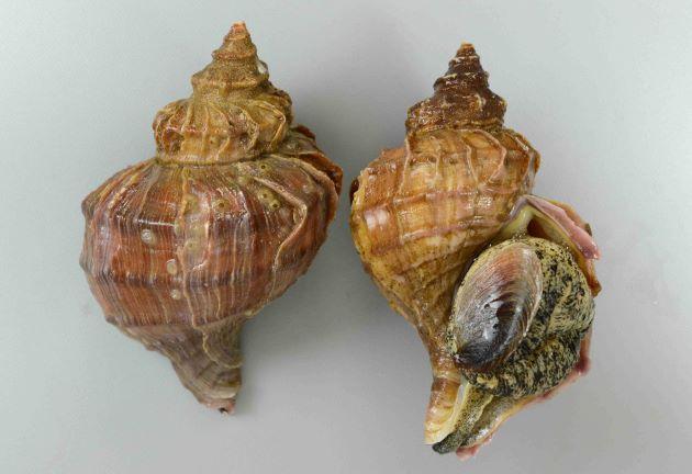 殻高20cm、重さは1kg前後になる。色合い茶色、もしくは肌色。貝殻はエゾボラ属ではやや薄い。角張り、成長脈(貝殻の縦に走る筋)が強く肩で割れてヒレ状に盛りあがる。螺肋(貝殻にある筋)は太く目立つ。