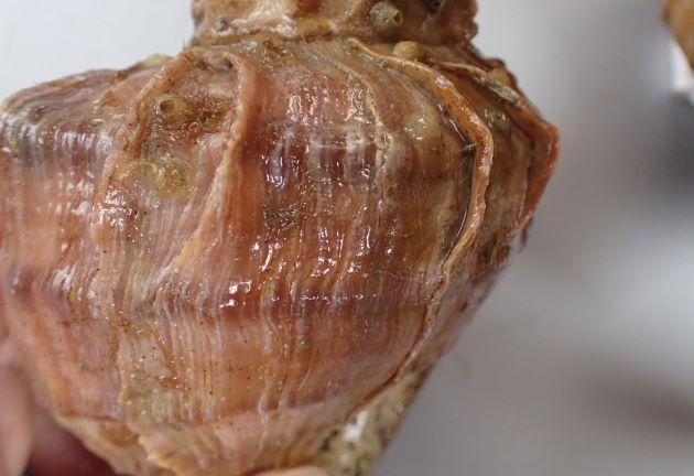 角張り、成長脈(貝殻の縦に走る筋)が強く肩で割れてヒレ状に盛りあがる。螺肋(貝殻にある筋)は太く目立つ。