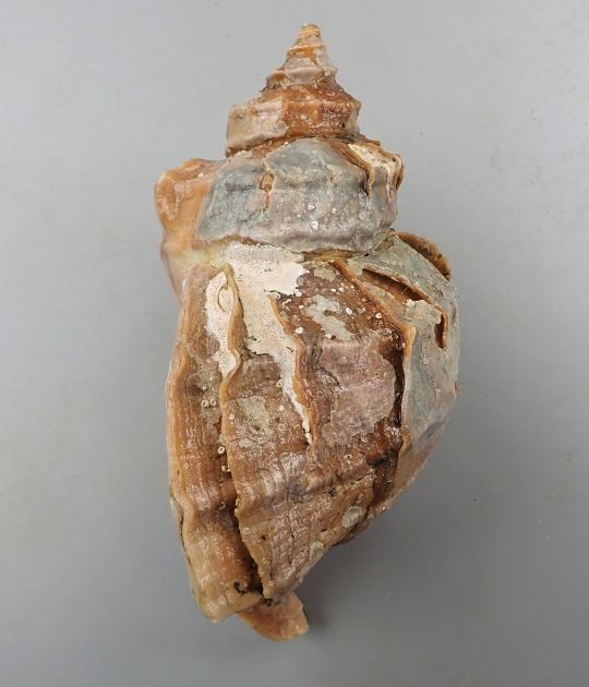 SL 24cm・重さは1kg前後になる。色合い茶色、もしくは肌色。貝殻はエゾボラ属の中ではやや薄い。角張り、成長脈(貝殻の縦に走る筋)が強く肩で割れてヒレ状に盛りあがる。螺肋(貝殻にある筋)は太く目立つ。[23cm SL・827g]
