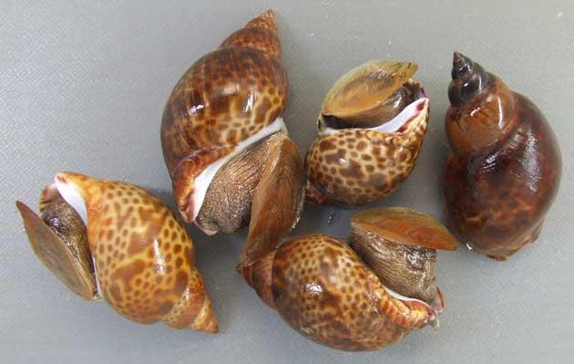 殻長7cm前後になる。黄土色の地に濃い褐色の不規則な斑紋があるが変異が多い。縫帯と軸唇の間に孔(臍孔)がある。