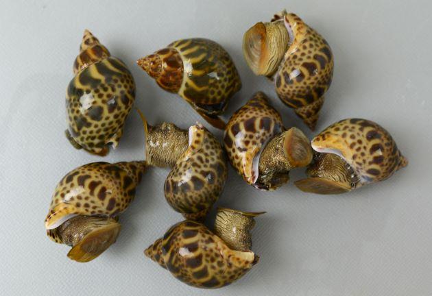殻長7cm前後になる。黄土色の地に濃い褐色の不規則な斑紋があるが変異が多い。縫帯と軸唇の間に孔(臍孔)がある。伊勢市産。