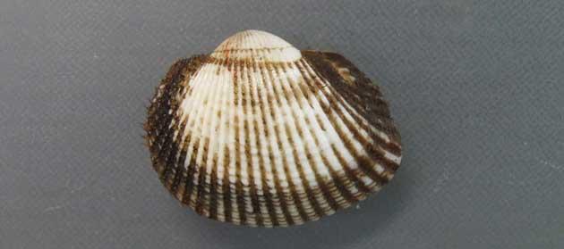 殻幅5cm前後。膨らみが強く、殻に放射状に走る隆起した筋が32本前後。