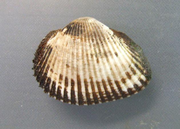 サルボウガイの形態写真