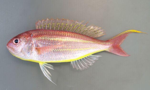 体長25cm前後になる。側扁し、下あご近くから腹側、尾に向かって黄色い帯が2本走る。腹面は明るい黄色の帯のように見える。尾鰭上葉は糸状に伸びる。頭部の真後ろ肩に思える部分に赤い斑紋がない。