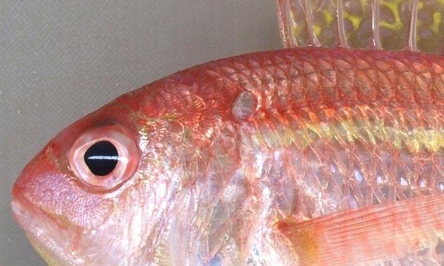 頭部の真後ろ肩に思える部分に赤い斑紋がない。
