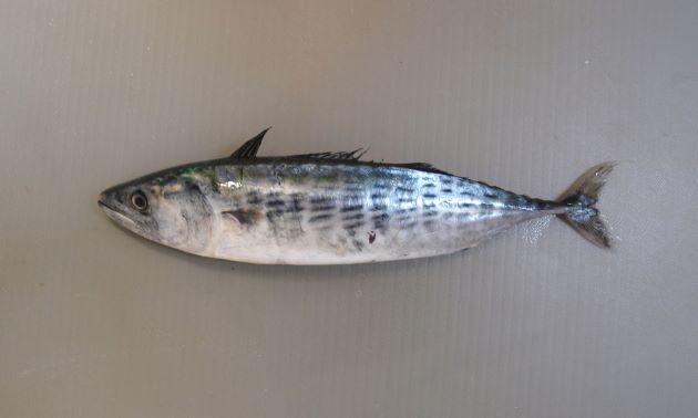 稚魚、若魚のとき縞模様はとぎれとぎれとなっていている。