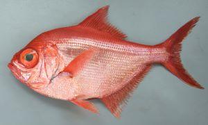 ナンヨウキンメのサムネイル写真
