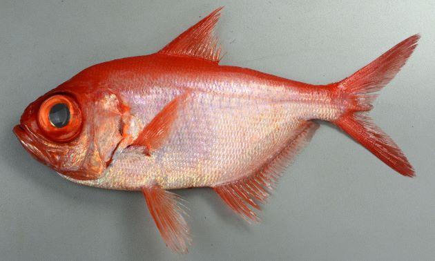フウセンキンメの形態写真