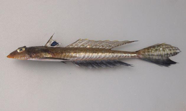 20cm前後になる。身体は縦偏(薄く)して、細長い。オスの第一背鰭には未成熟のときには斑紋があり、大きくなると消える。メスの尻鰭は白く、オスは黒い。オスの尾鰭は下の部分が黒く、正中線上から斜め後方に走る黒い筋がある。[写真は雄の未成魚で背鰭に大きな青黒色の斑紋を持ち、体側に斜めの黒い筋が走る]
