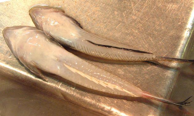 20cm前後になる。身体は縦偏(薄く)して、細長い。オスの第一背鰭には未成熟のときには斑紋があり、大きくなると消える。メスの尻鰭は白く、オスは黒い。オスの尾鰭は下の部分が黒く、正中線上から斜め後方に走る黒い筋がある。[写真は上が雄で下が雌]