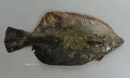 40センチ前後になる。全体に黒い。クロガシラガレイに似ているが、やや体高がない(幅がせまい)。尾鰭の後縁が白くない。表面。