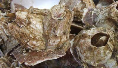 養殖されたミネフジツボ