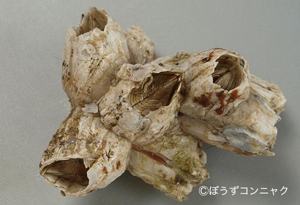 ミネフジツボの形態写真