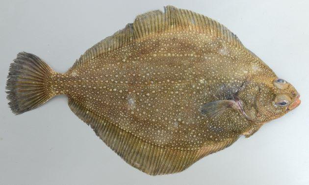 サメガレイの形態写真