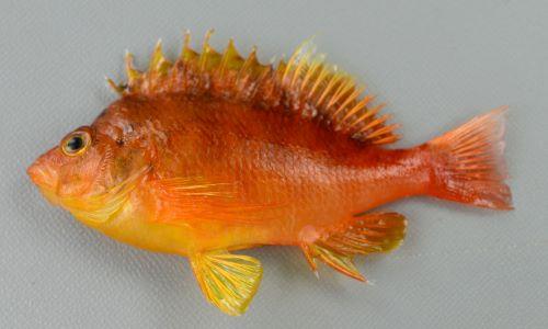 オキゴンベの生物写真