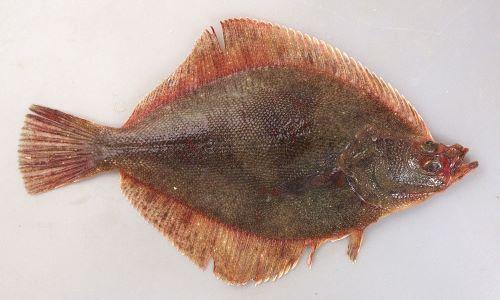 体長35cm前後になる。菱形をしていて鱗は硬くザラザラしている。鰓蓋(ほお)の部分に櫛鱗(硬くザラザラした鱗)が密集していて、頭部の背中側が強くくぼみ口がしゃくれたように見える。裏面背鰭・尻鰭の後半に沿って黄色い帯がある。