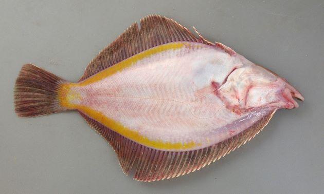 裏面背鰭・尻鰭の後半に沿って黄色い帯がある。