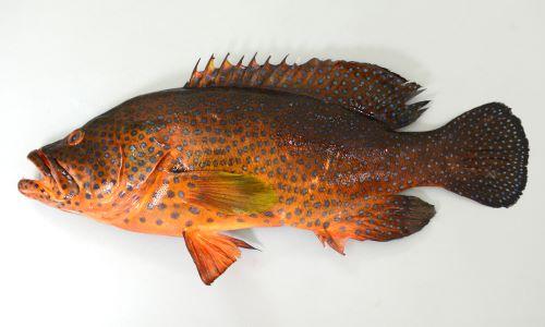 体長40cm前後になる。小型のハタ。背鰭棘は9本。尾鰭は丸い。胸鰭以外の全身にコバルトブルー、もしくは黒みがかった斑文がちらばる。色彩変化がある。