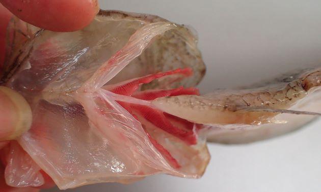 左右の皮膜は癒合していない。