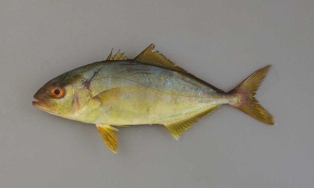 体長1.8m、重さ80キロ前後になる。これはアジ科中最大。紡錘形。やや側編。体色が赤紫色を帯びている。背鰭は低く、尾鰭下葉は白い、[14cm]