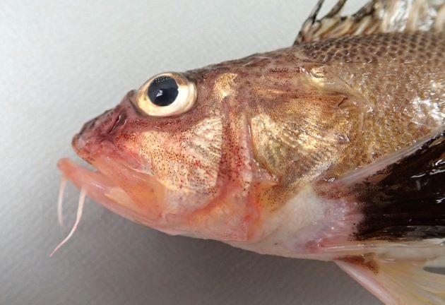 SL 12cm前後になる。紡錘形で背鰭後半に黒い斑紋がある。下顎に2対のヒゲがある。