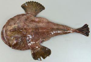 キアンコウのサムネイル写真