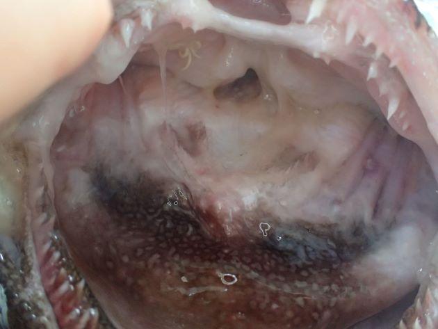 口のなか舌に見える部分に丸く大きな白い斑紋がない。