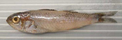 ヒメスミクイウオの生物写真