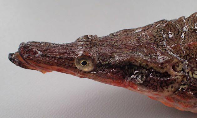 SL 25cm前後になる。下顎は上顎よりも前に伸びる。頭部は細長い。第一背鰭棘は7-9本。