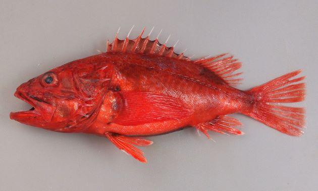体長25cm前後になる。頭部が大きく紡錘形。全体に赤く、ところどころ赤黒い。背鰭などが鋭く刺さると痛みが続く。前鰓蓋骨(えらぶたのところにある板状の骨)の後方にと棘が張り出している。この上部2本目が上下の棘とほぼ同じ長さなのがシロカサゴ。[沼津産赤みの深いもの]