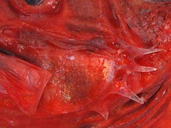 前鰓蓋骨(えらぶたのところにある板状の骨)の後方にと棘が張り出している。この上部2本目が上下の棘とほぼ同じ長さなのがシロカサゴ。アカカサゴは非常に短い。[沼津産赤みの深いもの]