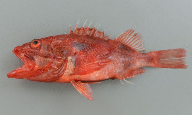 体長25cm前後になる。頭部が大きく紡錘形。全体に赤く、ところどころ赤黒い。背鰭などが鋭く刺さると痛みが続く。前鰓蓋骨(えらぶたのところにある板状の骨)の後方にと棘が張り出している。この上部2本目が上下の棘とほぼ同じ長さなのがシロカサゴ。[沼津産赤みの弱い個体]