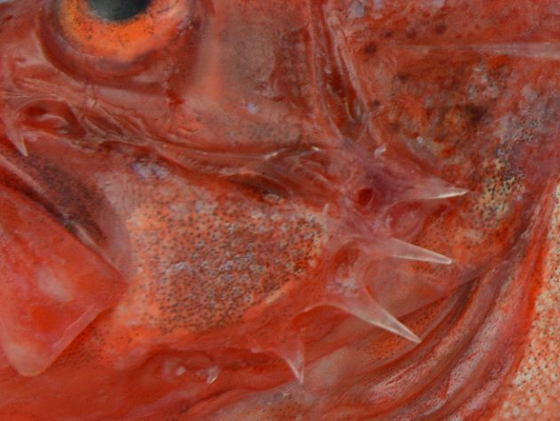 前鰓蓋骨(えらぶたのところにある板状の骨)の後方にと棘が張り出している。この上部2本目が上下の棘とほぼ同じ長さなのがシロカサゴ。アカカサゴは非常に短い。[沼津産赤みの弱いもの]